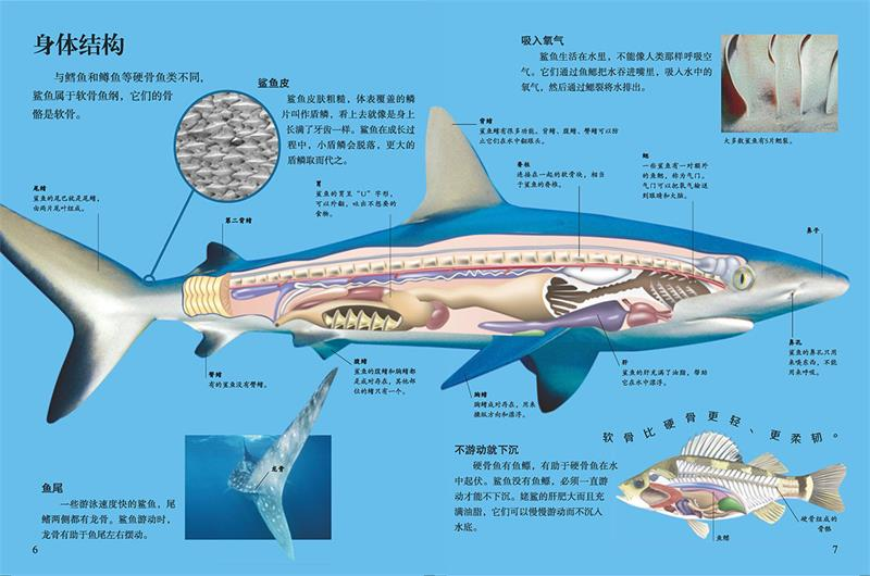 目  录 鲨鱼4-5 身体结构6-7 头部8-9 尾巴10-11 游泳健将12-13 感知